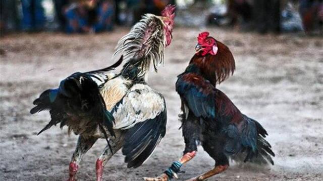 Las peleas de gallos todavía son consideradas legales en las comunidades de Andalucía y Canarias